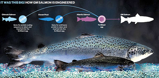 GM salmon compared to conventionally farmed salmon