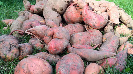 My sweet potato crop