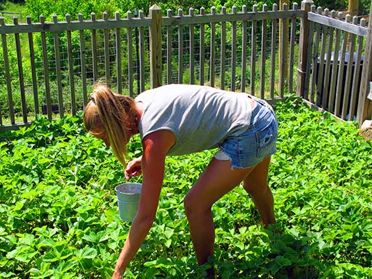 Lydia picking strawberries